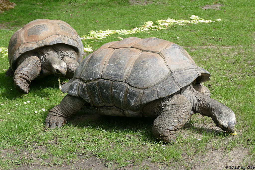 Aldabra- (Seychellen-) Riesenschildkröte