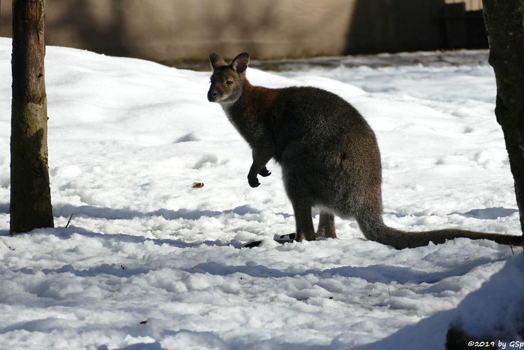 2 Rotnackenwallaby (Bennettkänguru)