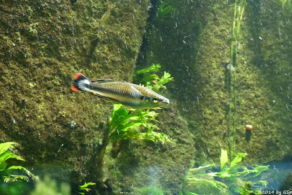 Rotschwanz-Ährenfischc
