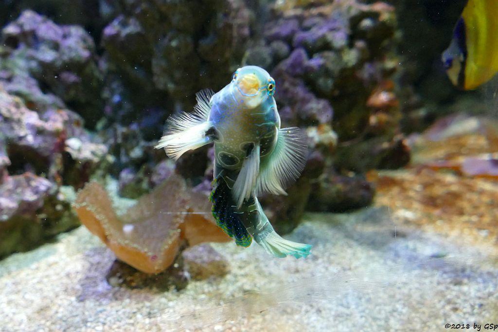 Clown-Zwergleierfisch (LSD-Mandarinfisch, Gemalter Leierfisch)
