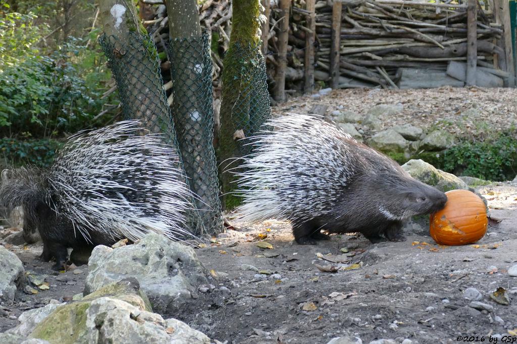 Weißschwanz-Stachelschwein