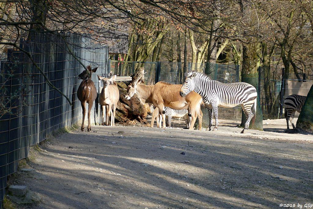 Großer Kudu, Elenantilope, Harmann-Bergzebra