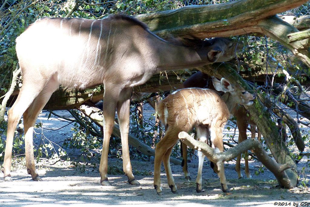 Großer Kudu, Jungtier geb. am 14.08.14 und Impala