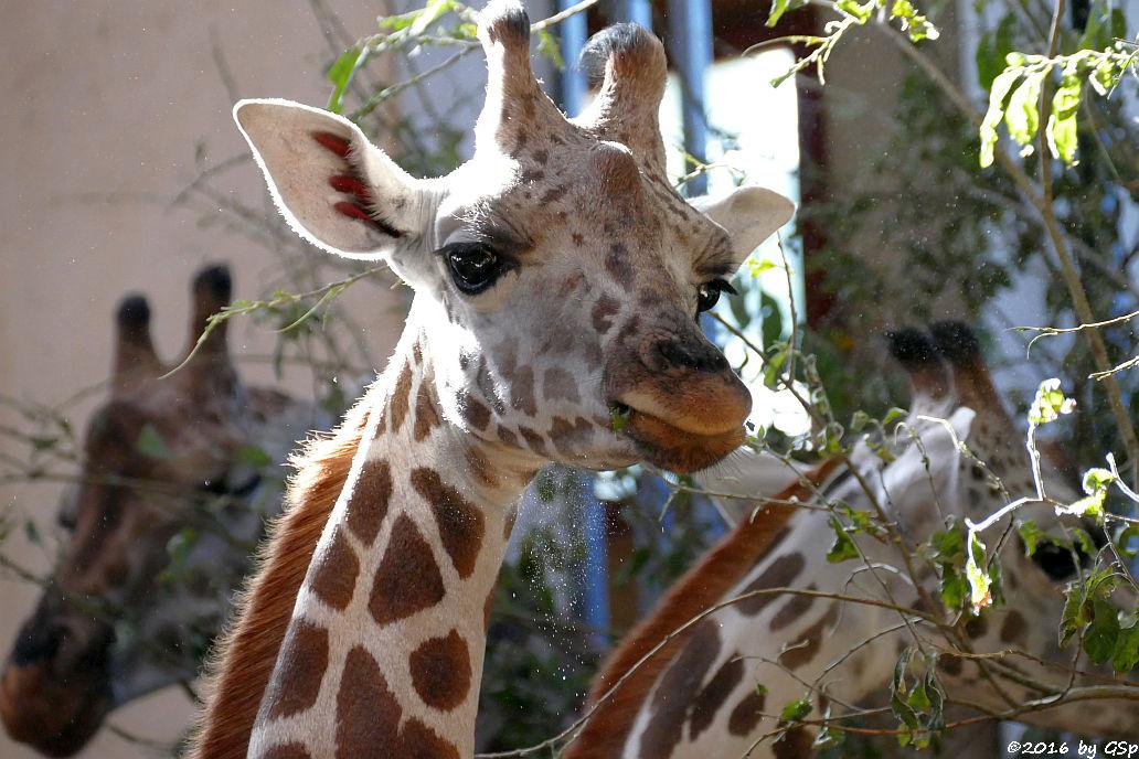 Rothschildgiraffe (Uganda-Giraffe)