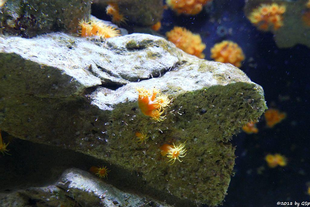 Gefiederte Anemone