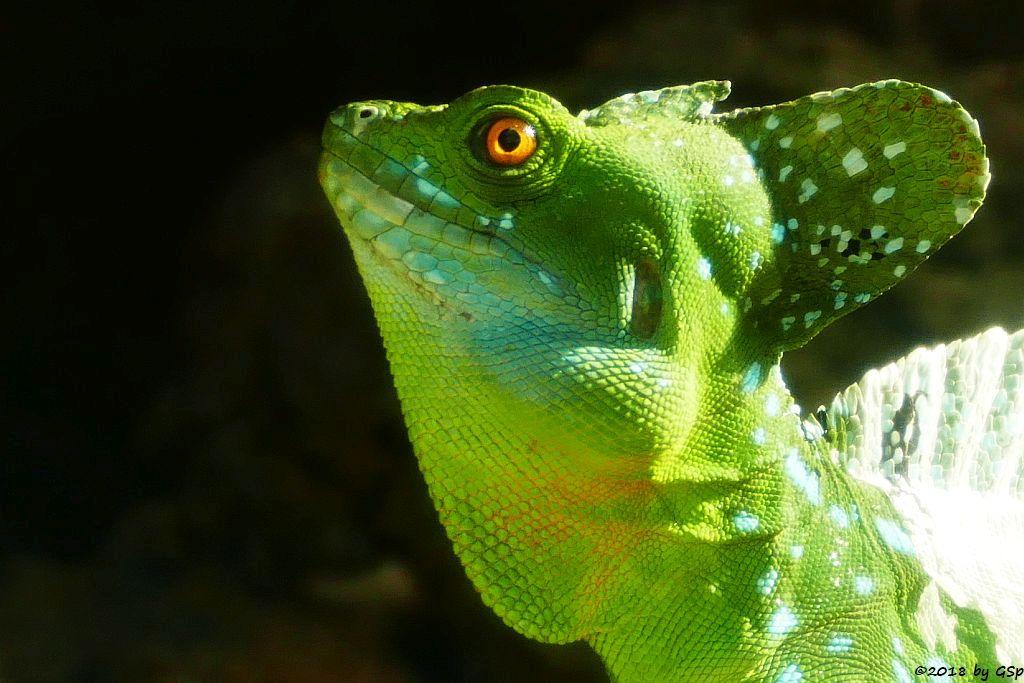 Stirnlappenbasilisk (Federbuschbasilisk)