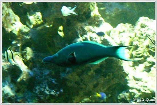 brauner Vogelfisch (ausgefärbtes Männchen)
