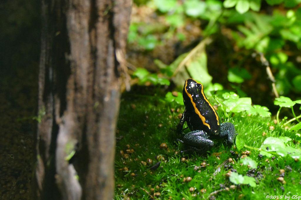 Gestreifter Blattsteiger (Orangeschwarzer Giftfrosch)
