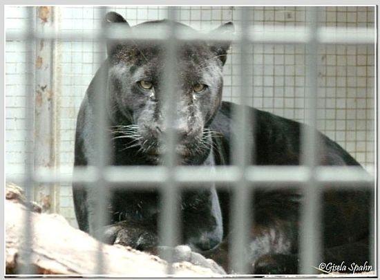 Jaguar PETRA geb. 24.10.90 i.d. Wilhelma