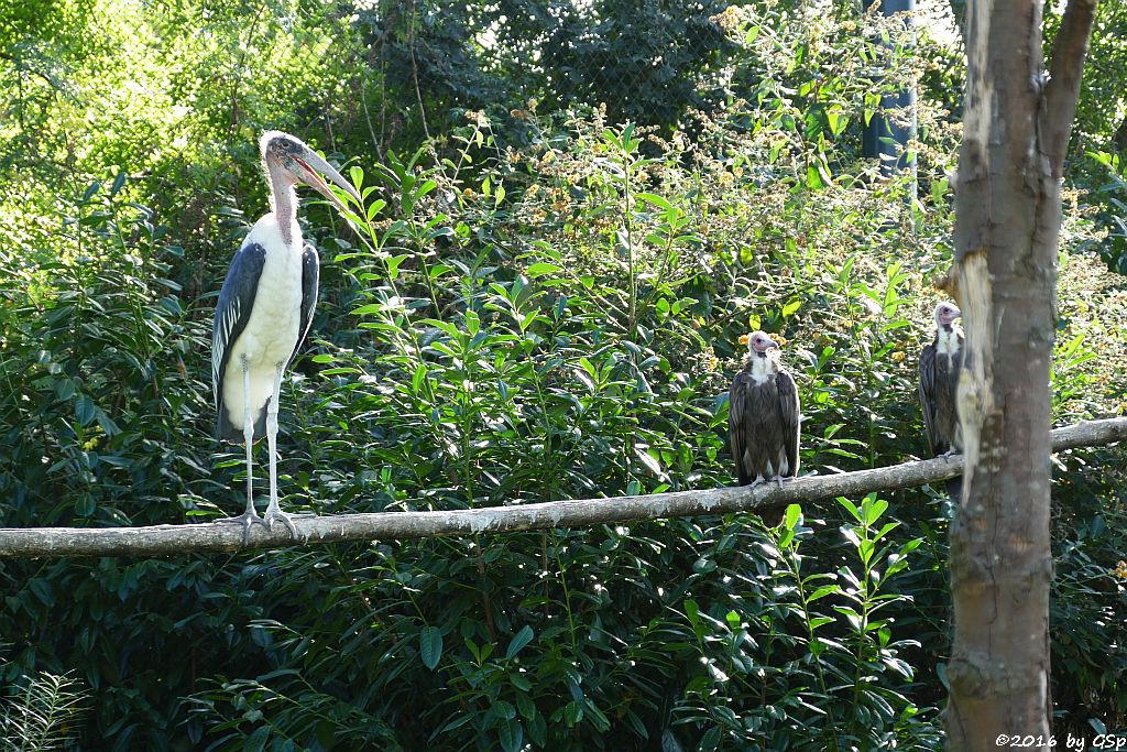 Marabu, Kappengeier