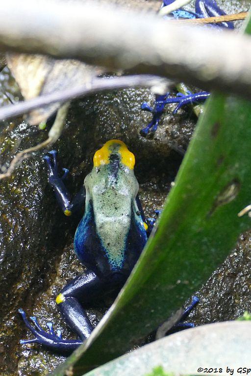 Färberfrosch Tumucumaque