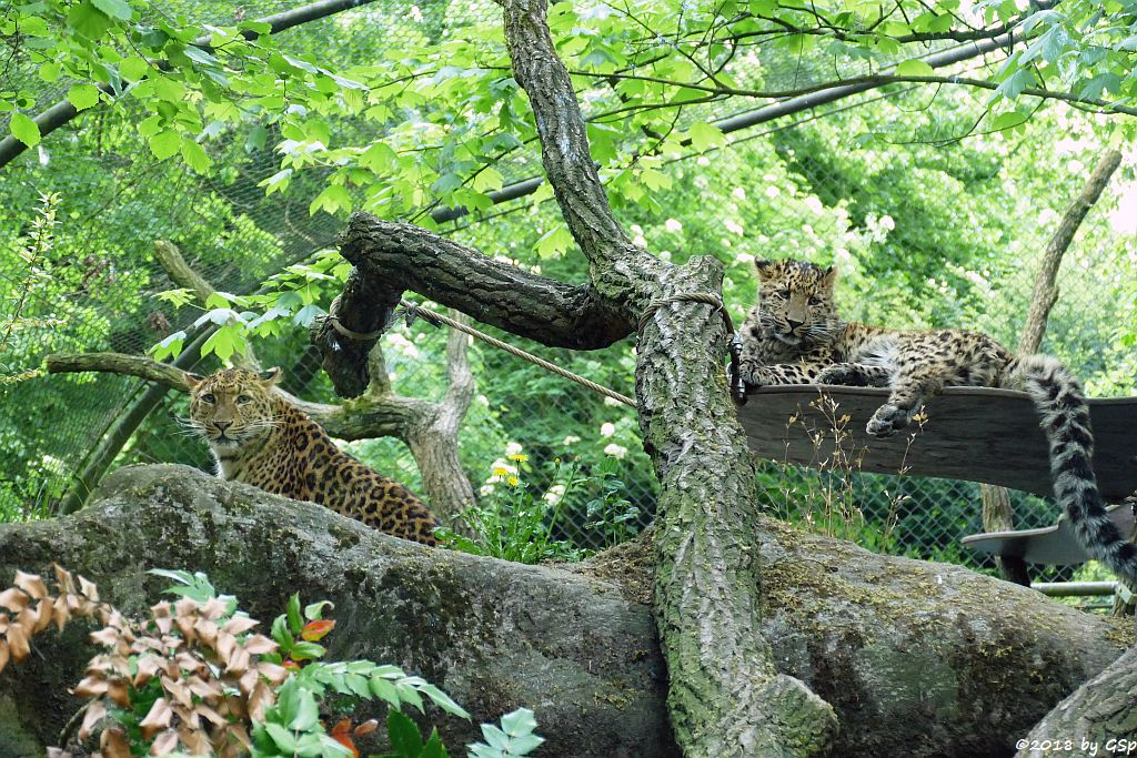 Chinaleopard (Nordchinesischer Leopard)