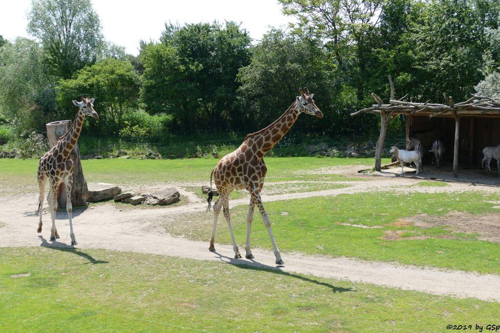 Rothschildgiraffe (Uganda-Giraffe, Baringo-Giraffe), Säbelantilope, Grévy-Zebra