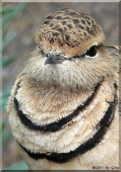 Doppelbandrennvogel