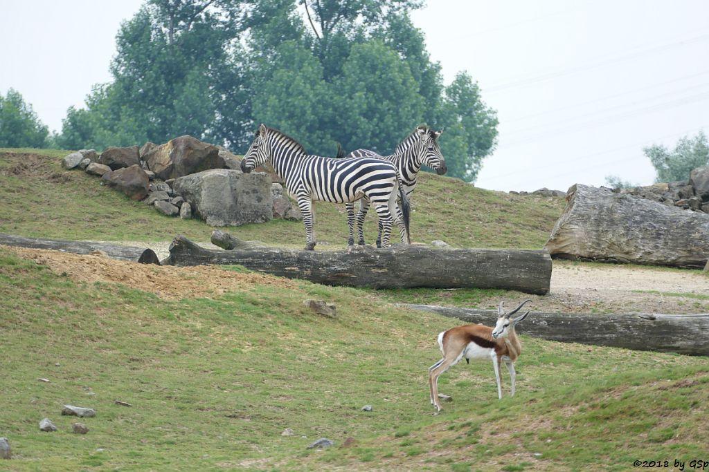 Böhm-Steppenzebra (Grant-Zebra), Springbock