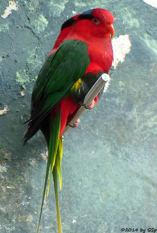 Papualori