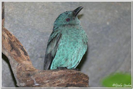 Elfenblauvogel (Weibchen)