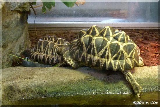 Burmesische Sternschildkröte