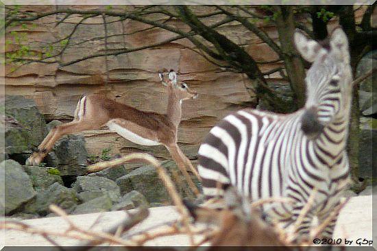 Böhm-Steppenzebra und Impala