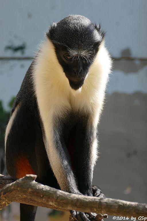 Diana-Meerkatze