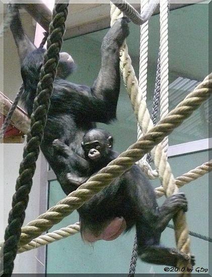 Bonobo, Jungtier geb. am 26.10.09 (4 Mon. alt)
