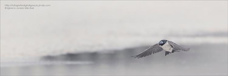Golondrina en vuelo