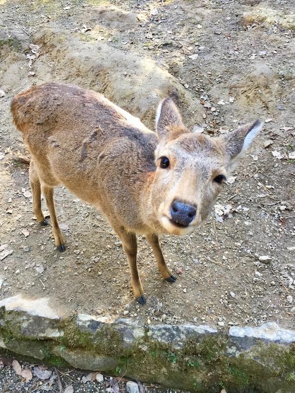 deer at nara park in japan