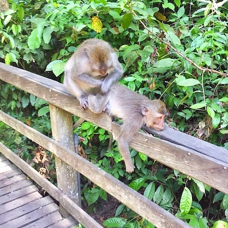 monkeys grooming at monkey forest