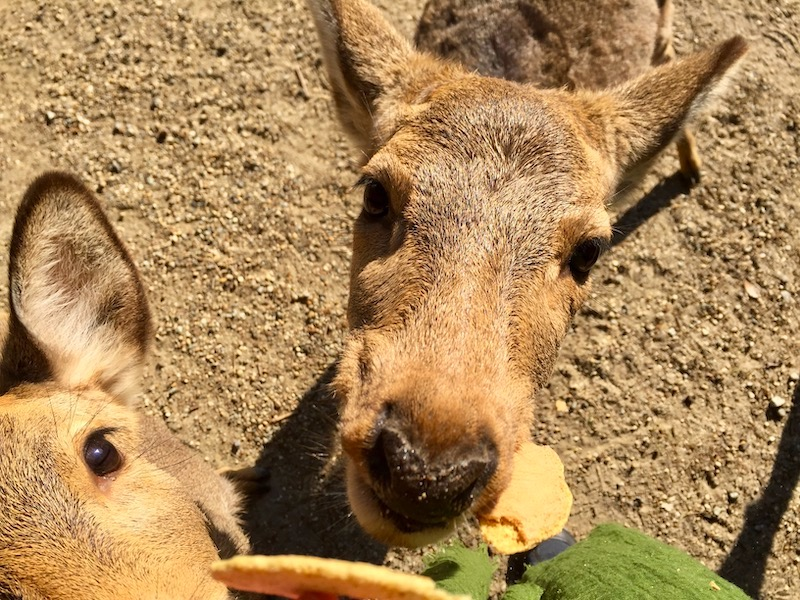 deer eating deer crackers at nara park japan