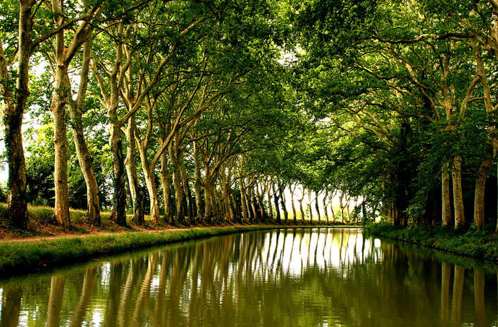 Plane trees on the Canal du Midi, France. Photo by Thomas Claveirole. Creativecommons.org/licenses/by-sa/2.0/