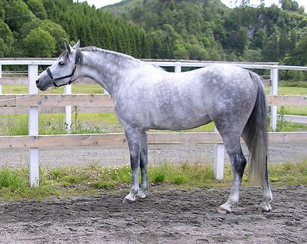 Tilridning av hest etter Klassiske prinsipper - innridd unghest
