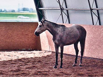 Rehabilitering av hest - før trening etter Klassiske prinsipper