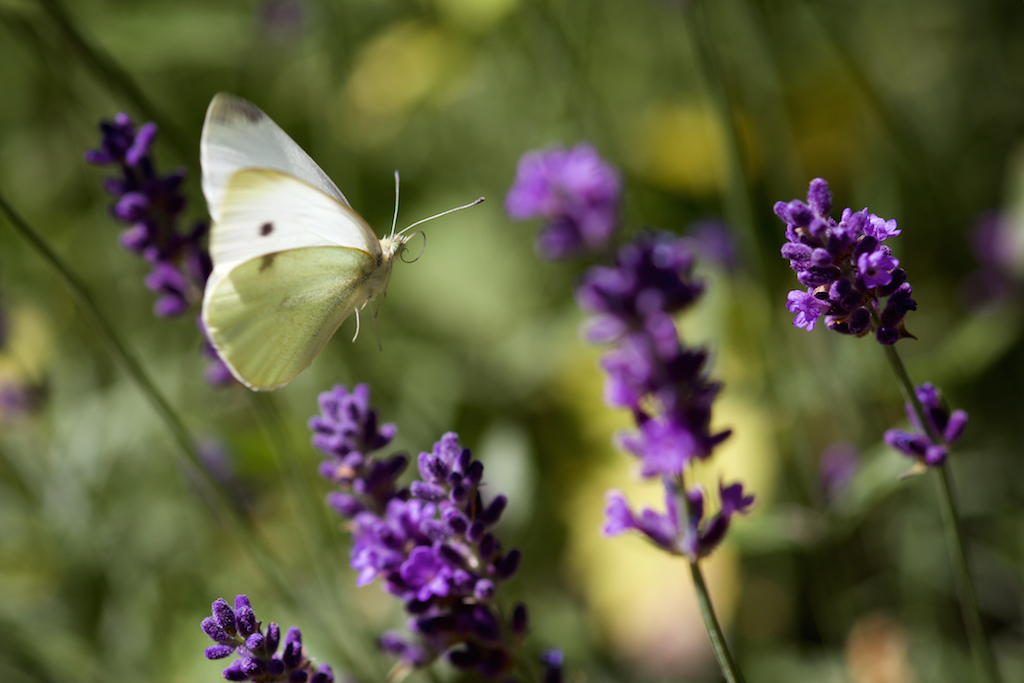 Flying Small White (2018)