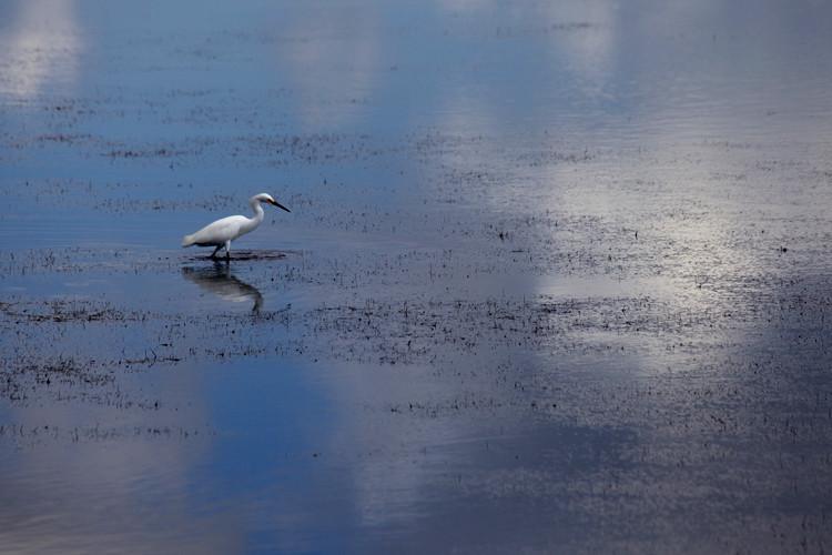 White Heron. Ardea alba, Grande Aigrette (F), Silberreiher (D),  Captiva Island, FL, USA. (2011)