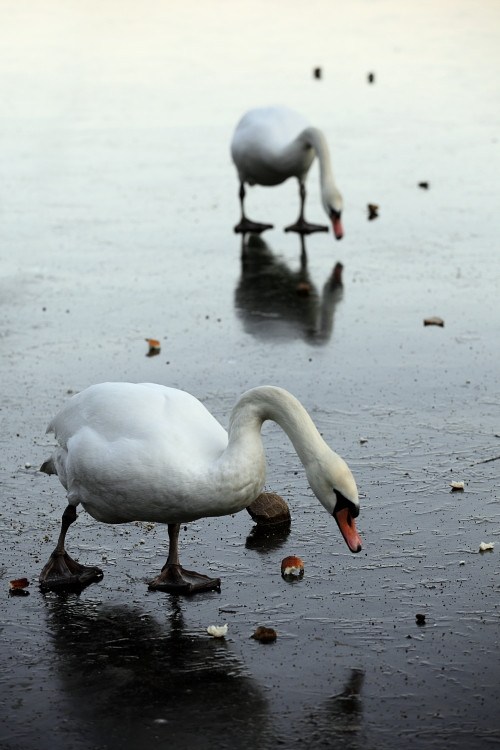 Swans. Lake of Echternach, Luxembourg. (2011)