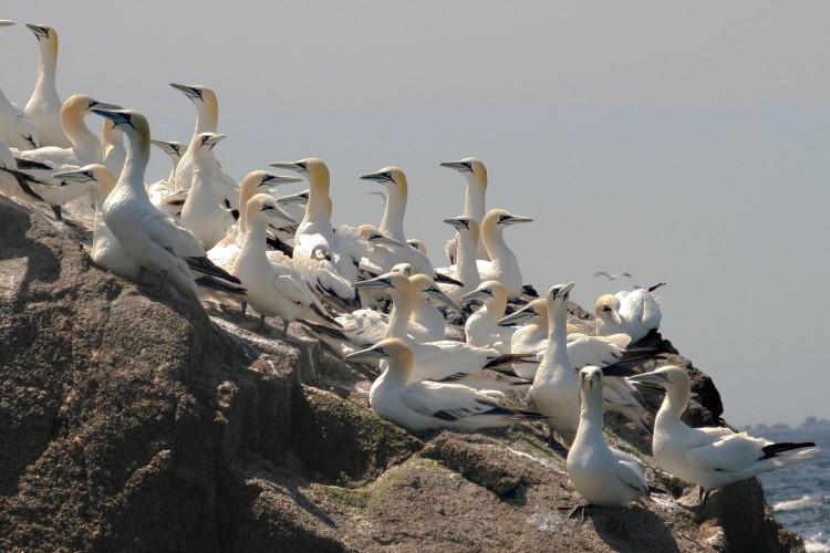 Northern Gannets. Morus bassanus, Fous de Bassan (F), Basstölpel (D), Sept-Îles, Bretagne, France. (2009)