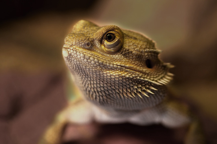 Bearded Dragon (2011)