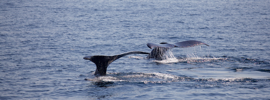 Whale Watching at Stellwagen Bank National Marine Sanctuary, MA