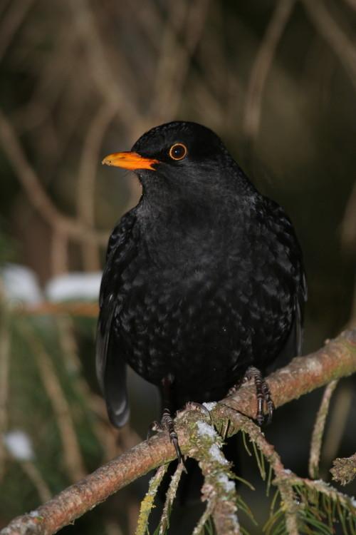 Blackbird. Merle (F), Amsel (D), Seefeld, Austria. (2008)