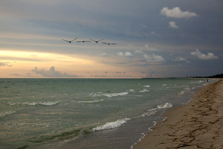 Pelicans, Captiva Island