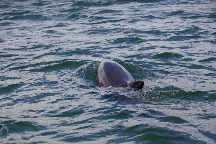 Fungie the Dolphin, Dingle, County Kerry