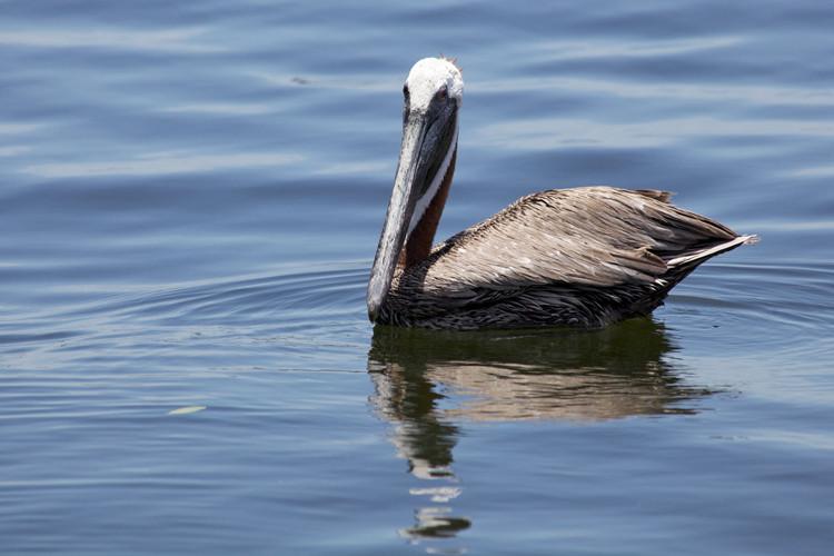 Pelican, St. Petersburg