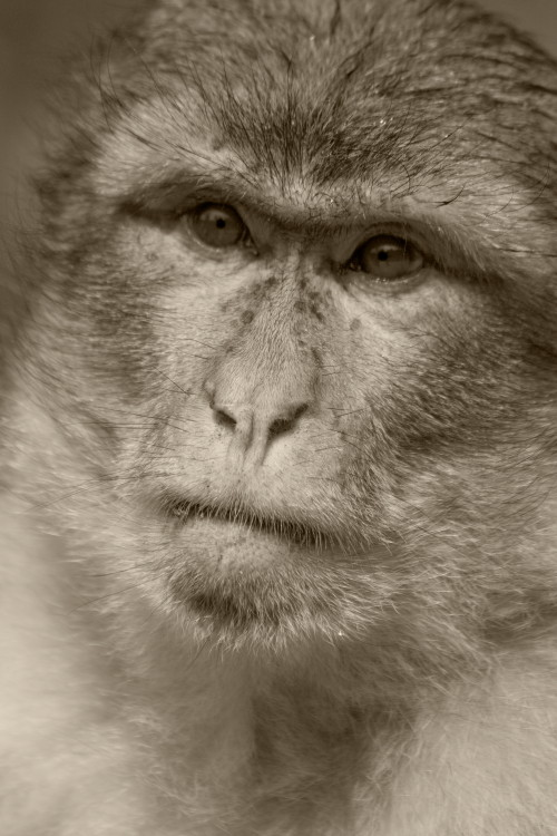 Portrait of a Monkey. Macaca sylvanus, Barbary Macaque (Eng), Berberaffe (D), Macaque de Barbarie (F). Montagne des Singes, Kintzheim, Alsace, France. (2009)