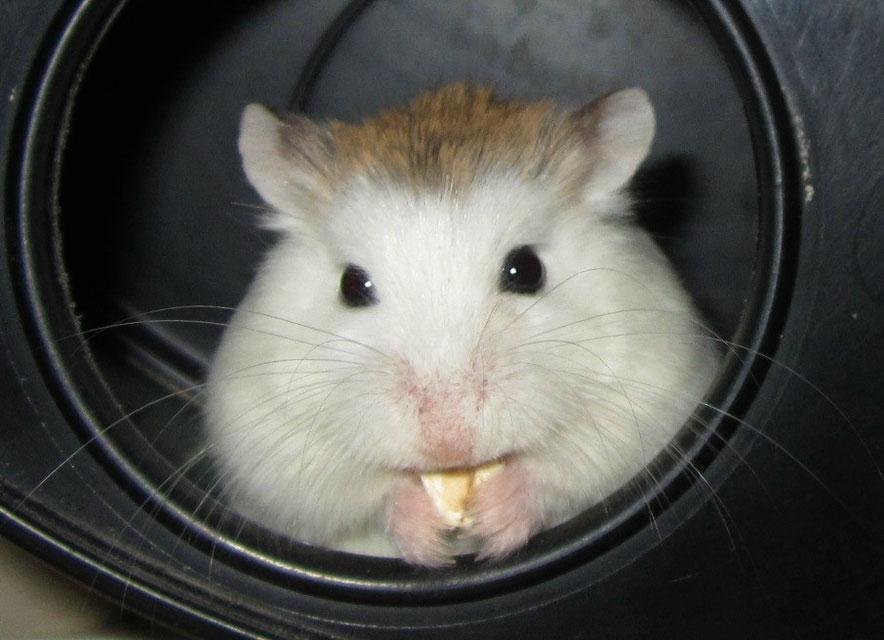 Hamster, Puschelhilfe, Nagerschutz, Josie