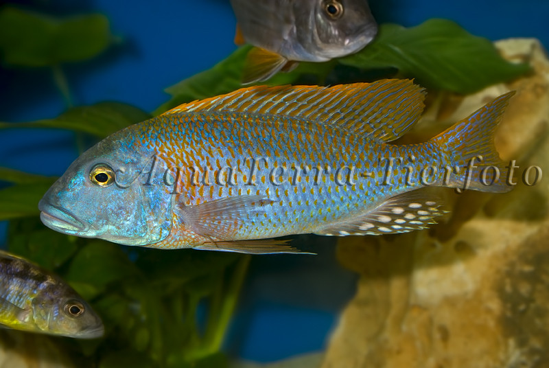 Tyrannochromis nigriventer(2) _3313 x 2219 px
