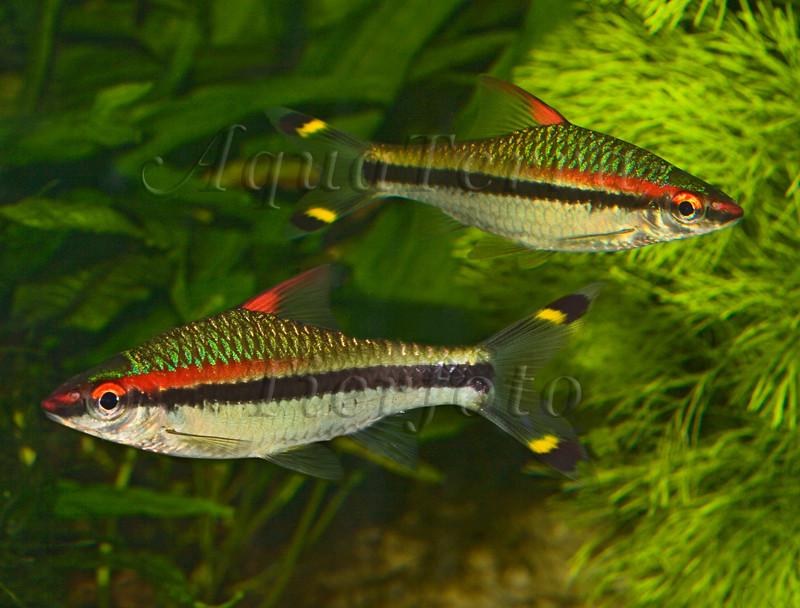 Puntius denisonii_2934 x 2229