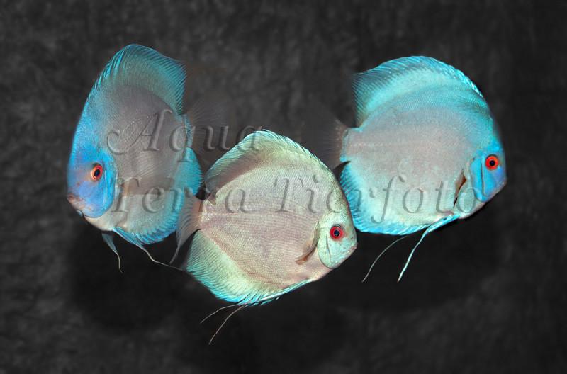 Symphysodon aequifasciatus (Diskus Zuchtform) (4)_3255 x 2149 px