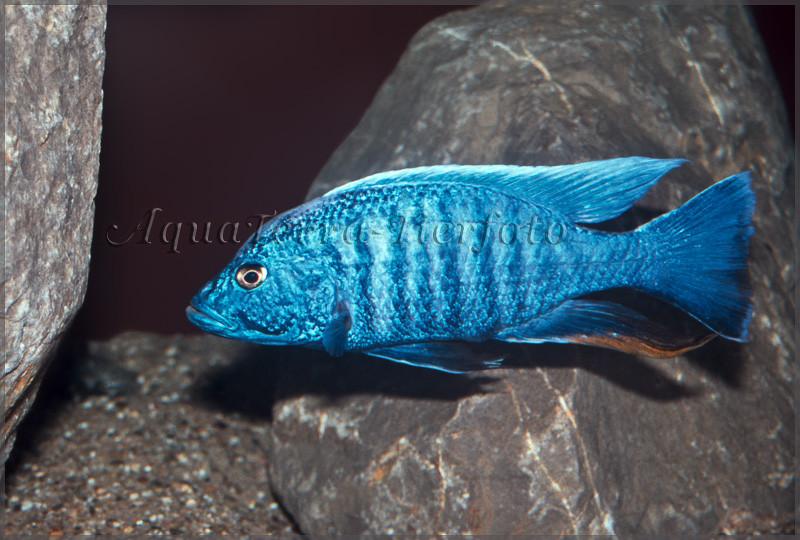 Sciaenochromis fryeri_3052 x 2062 px