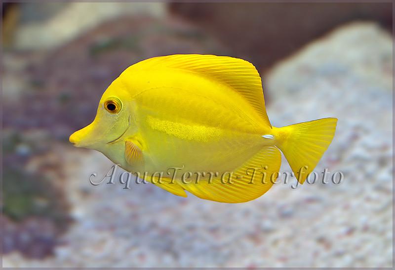 Zebrasoma flavescens (Zitronenflosser Doktorfisch)_3372 x 2307 px