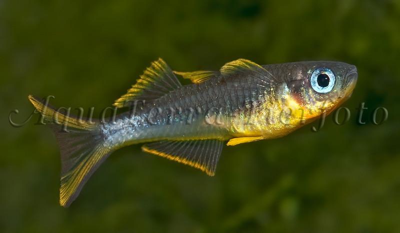 Popondetta furcata (Gabelschwanz-Regenbogenfisch)_1417 x 827 px